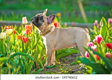 French bulldog puppy standing in flowers