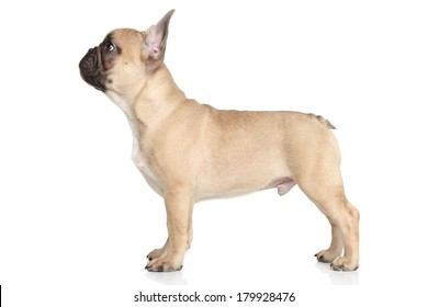 French bulldog puppy standing on white background