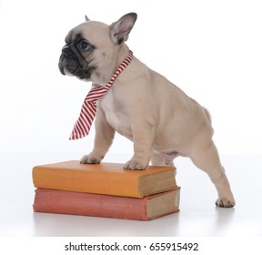 french bulldog puppy standing on a stack of books on white background