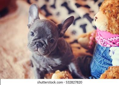 french bulldog puppy with teddy bear