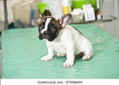 French bulldog puppy in veterinary clinic
