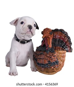 French bulldog puppy with wicker thanksgiving turket