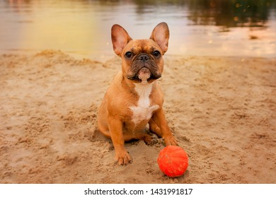 French bulldog redhead on the beach