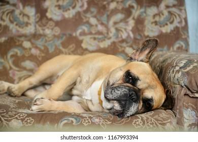 French Bulldog Relaxing