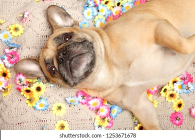 French Bulldog resting in flowers. Animal themes