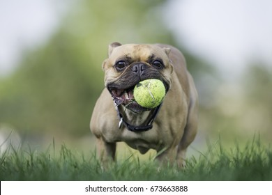 French bulldog running with ball in mouth, summer time, green grass