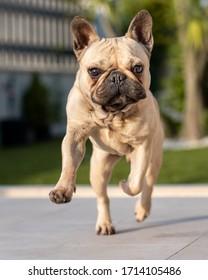 French bulldog running in the garden
