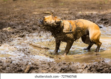French bulldog shaking to take mud off his body