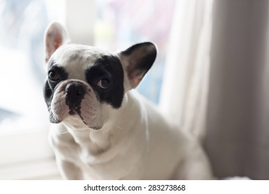 French bulldog sit and looking,close up
