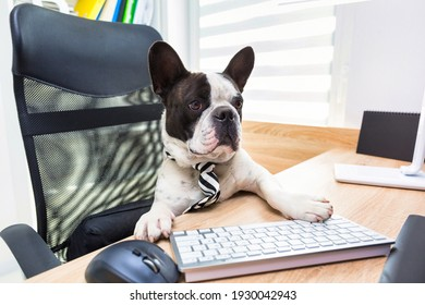 French Bulldog sits at a desk in an office and works on a computer