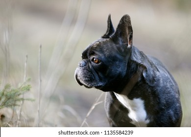 French Bulldog sitting on grass in the wood