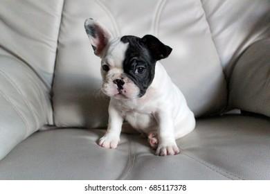 French Bulldog sitting on sofa