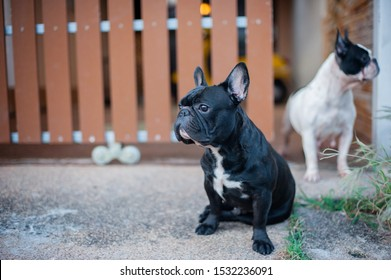 French Bulldog Was sitting, watching, paying attention to something
