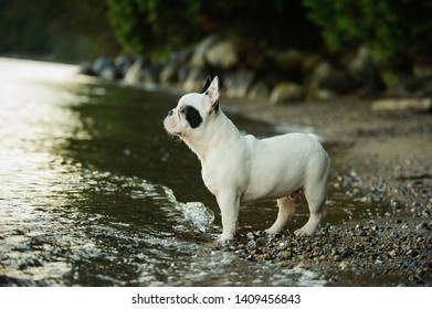 French Bulldog standing at beach shore