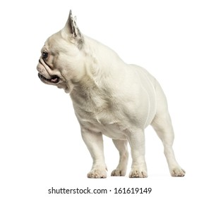 French bulldog standing, looking away, isolated on white