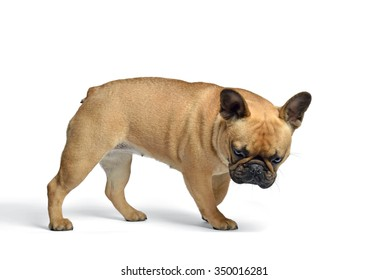 french bulldog in studio, looking down, food, sniffing.