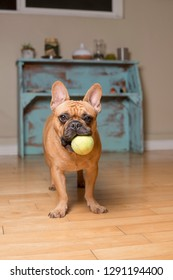 French Bulldog with Tennis Ball