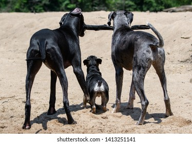 A French Bulldog trying to reach a stick that two Great Danes are playing with on the beach