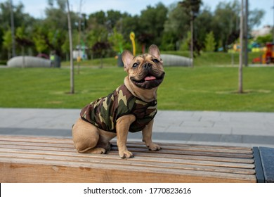 french bulldog in T-shirt walking by park