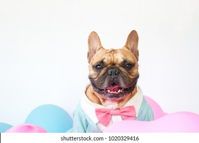 French bulldog in tuxedo sitting among the sweet color balloons on white background, love and sweet concept for valentines
