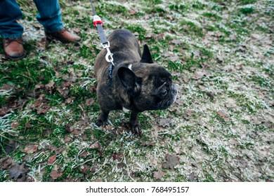 French Bulldog for a walk