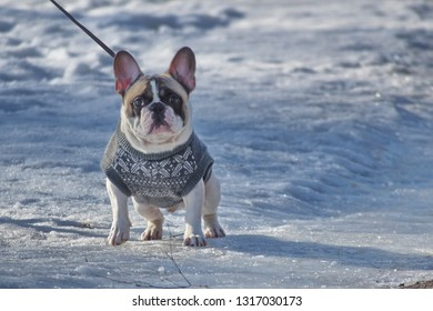 French bulldog walking on the street