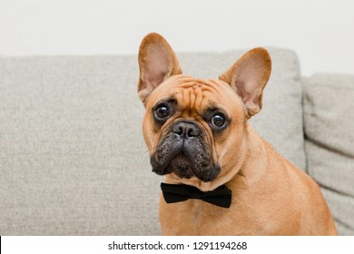 French Bulldog Wearing Bow Tie