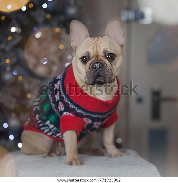 French Bulldog Christmas Jumper.French Bulldog Wearing Christmas Jumper Stock Photo Edit