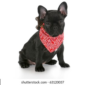 french bulldog wearing cowboy hat and red bandanna with reflection on white background