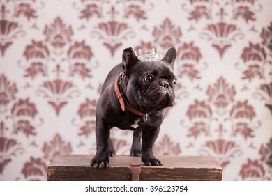 French Bulldog King Stock Photos, Images & Photography