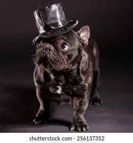 french bulldog wearing stovepipe in studio