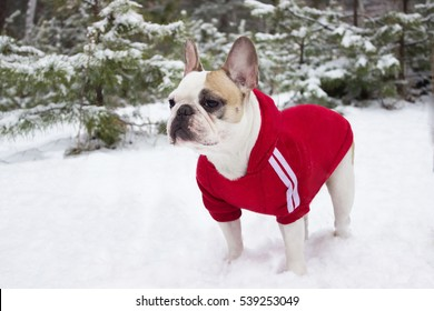 French Bulldog white fawn dog in winter walks in the forest near the pine on snow in a red jacket