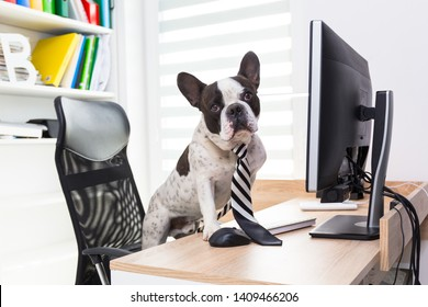 French bulldog works on computer at the office