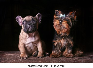French Bulldog and Yorkshire Terrier Puppies