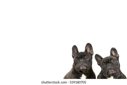 French bulldogs isolated on white for copy space use. Indoor image.