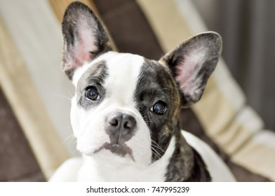 French Bulldog's looking to me