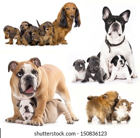 French bulldogs, puppy and dog mom