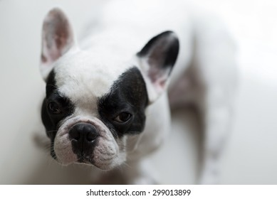 French bulldogs sit and looking