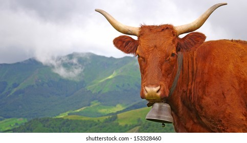 French cow with bell staring at the photographer with misty mountain in background
