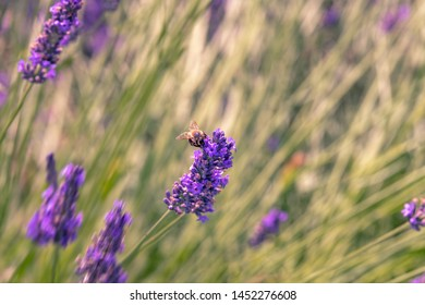 French landscape - Valensole. Field of lavender with bee in the Provence (France).