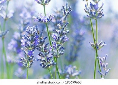 French lavender against sunlight, shallow depth of field