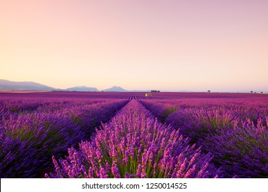 French lavender field at sunrise Valensole