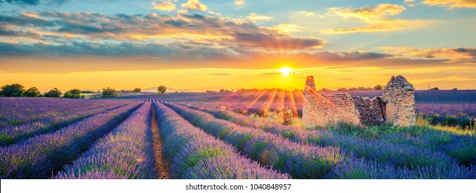 French lavender field at sunset.