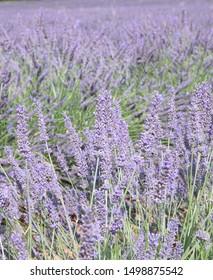 French lavender filds, Saint, Provence