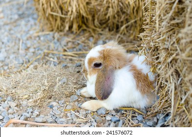 French Lop rabbit, sitting in bed of straw