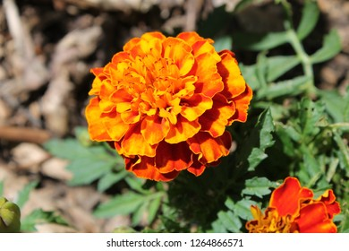 French Marigold in bloom