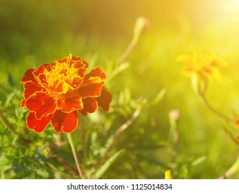 French marigold close up, with sunshine. An empty space for text. Latin name its Tagetes patula. It belongs to the family of daisies.