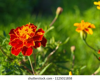 French marigold flower close up, with empty space for text. Latin name its Tagetes patula. It belongs to the family of daisies.