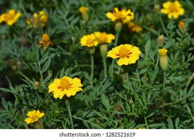 French marigold Mr. Majestic - Latin name - Tagetes patula nana Mr. Majestic