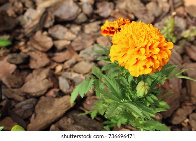 French Marigold in the Sun